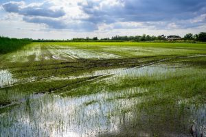 rizière